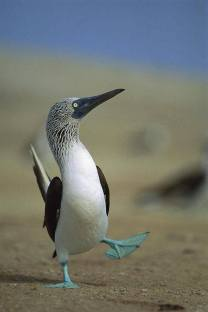Blue-footed Booby by Tui De Roy