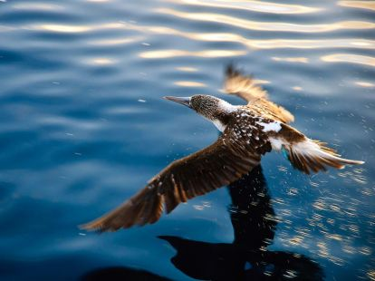 blue-footed-booby-galapagos_28383_990x742