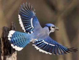 Blue Jay - Cyanocitta cristata - by Jim Ridley