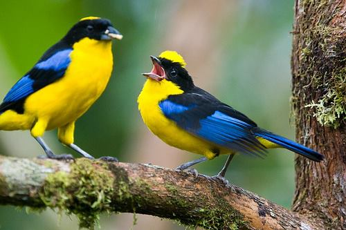 BLUE-WINGED MOUNTAIN TANAGERS