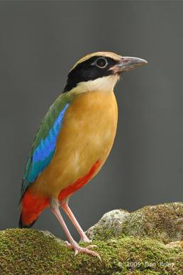 Blue-winged Pitta - Pitta moluccensis - by Con Foley