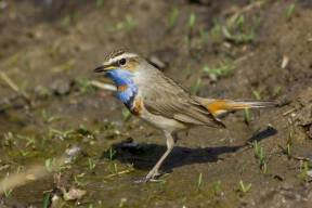 Bluethroat bird, Luscinia svecica