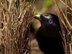 bowerbird-australia-laman_22648_990x742