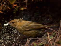 bowerbird-flowers-laman_PNG