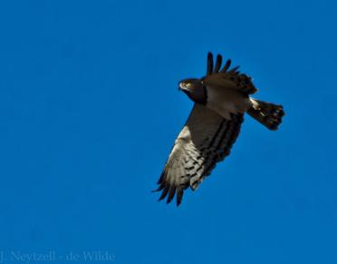 Brown-chested snake eagle