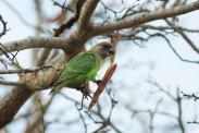 Brown-headed-parrot-eating-albizia