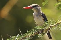 Brown-hooded Kingfisher - Halcyon albiventris © by Bartosz Budrewicz