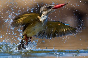 Brown hooded Kingfisher - Isak Pretorious Wildlife Photography