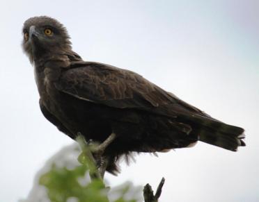 Brown Snake Eagle (Circaetus cinereus)
