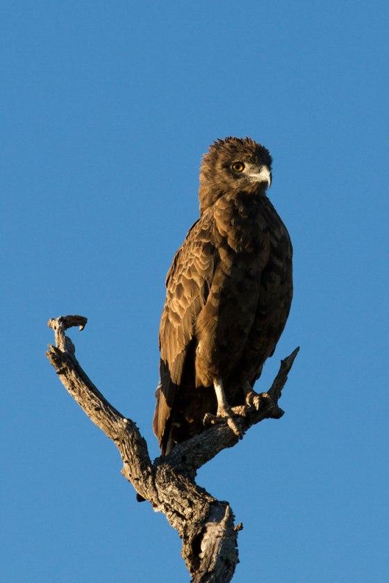 Brown Snake Eagle - Londolozi April 2013