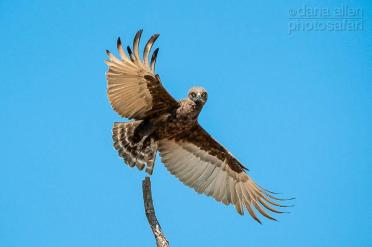 Brown Snake Eagle, Okavango by Dana Allen - PhotoSafari