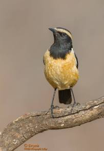 Buff Streaked Chat
