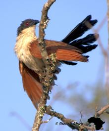 Burchell's coucal sunning itself in the early morning