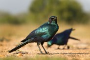 Burchell's Glossy Starlings