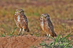 Burrowing Owls Standing Just Above Their Burrow