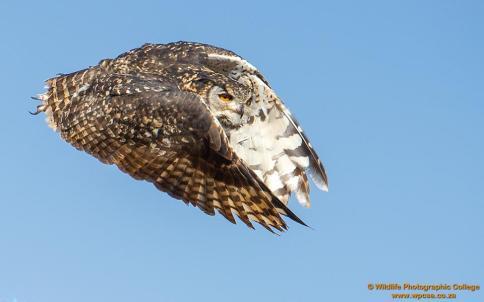 Cape Eagle Owl....
