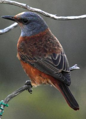 Cape Rock Thrush