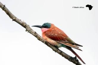 Carmine Bee-eater (2)