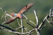 Carmine bee-eater on hunt