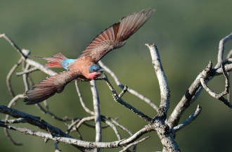 Carmine bee-eater on hunt