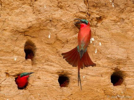 Carmine Bee-eaters South Luangwa - Isak Pretorius Wildlife Photography