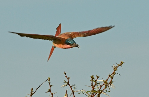 Carmine bee-eater's tail rudder