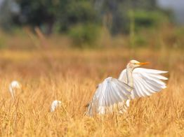 cattle-egrets-india_47909_990x742