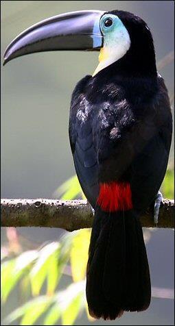 Channel-billed Toucan, French Guiana