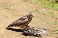 Check out this unusual sighting of a yellow billed kite feasting on a spotted eagle owl!