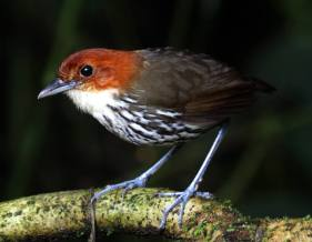 Chestnut-crowned Antpitta