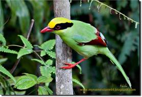 Common Green Magpie - Cissa chinensis