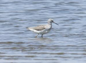 Common Greenshank (Tringa nebularia)2
