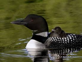 Common Loon, by Richard Peck