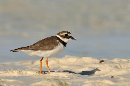 Common Ringed Plover - Charadrius hiaticula © by Bartosz Budrewicz
