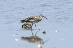 Common Whimbrel (Numenius phaeopus)
