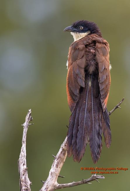 Coppery Tailed Coucal.....Okavango