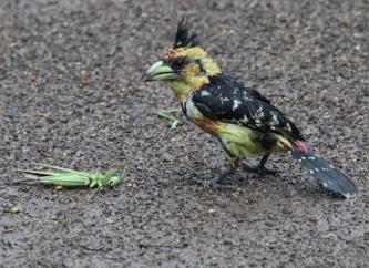 Crested Barbet (Trachyphonus vaillantii)