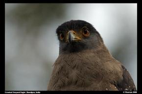 Crested Serpent Eagle (Spilornis cheela) - Photo 2008 Thomas