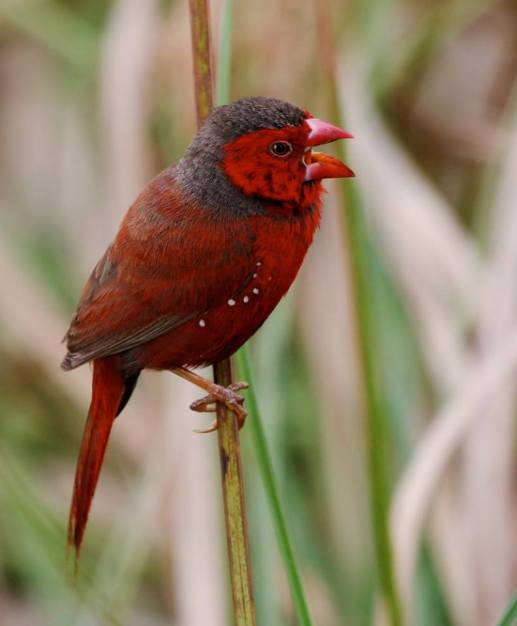 Crimson Finch By tytotony