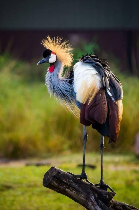 Crowned Crane by David Benard