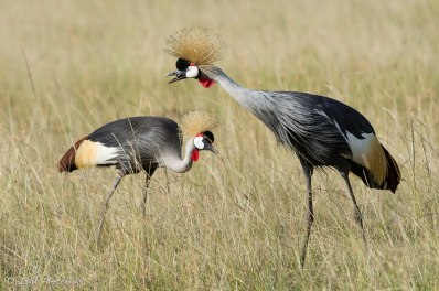 Crowned Cranes, Maasai Mara National Reserve in Kenya
