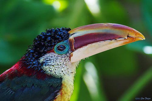 Curl-crested Araçari - Pteroglossus beauharnaesii - by Jim Frazee