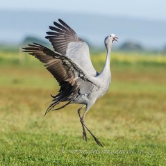 Dance of the Blue Crane. Agulhas Plains, Western Cape, South Africa