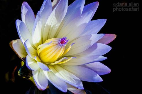 Day Waterlily, Okavaango by Dana Allen - PhotoSafari