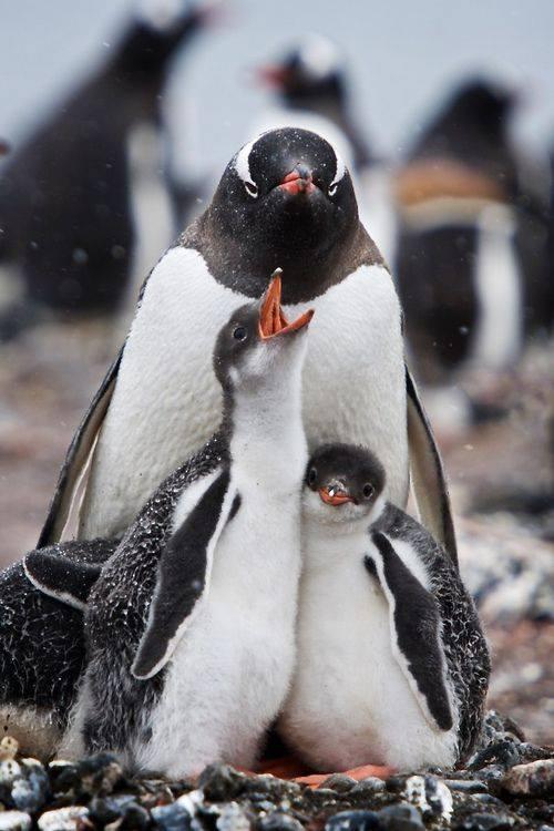Demanding Penguin Chick by Jim Richardson
