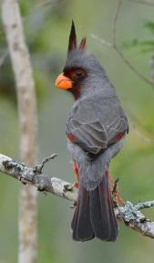Desert Cardinal or Pyrrhuloxia