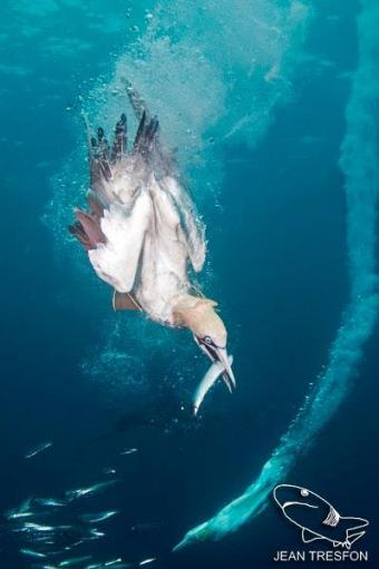 Diving Gannets at Port St. Johns by Jean Tresfon