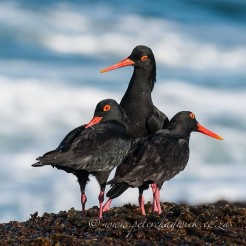 Dominating African Black Oystercatcher. Malgas Island, West Coast National Park, South Africa.