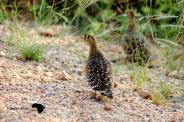 Double banded sand grouse couple