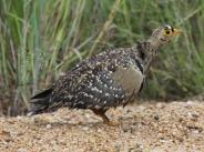 Double Banded Sandgrouse